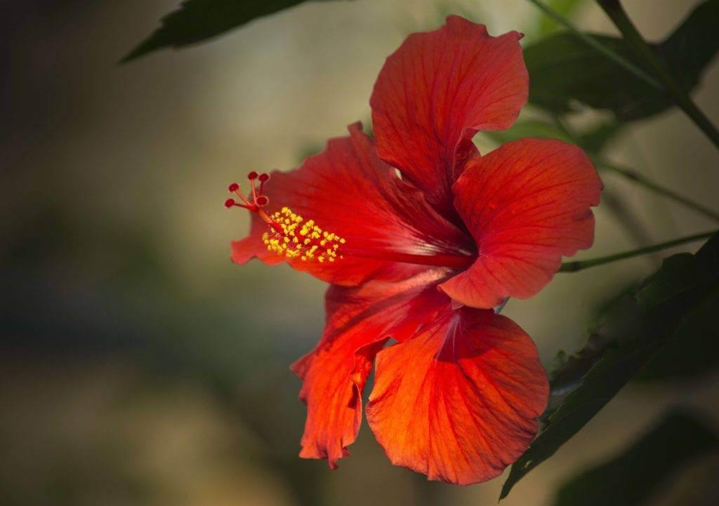 Infusion aux fleurs d'hibiscus