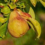 Recette de Confiture de poire à la cannelle de Madagascar