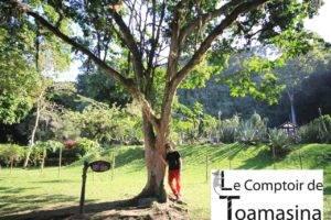 Pau Brasil - L'arbre du Brésil