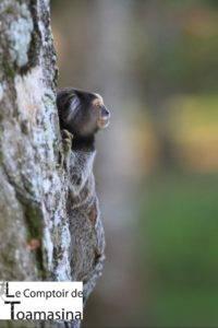 Petit singe jardin botanique Rio de Janeiro