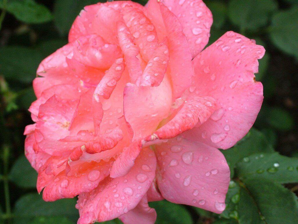Crème glacée à la rose