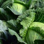 Recette de Caldo Verde (soupe au chou brésilienne)