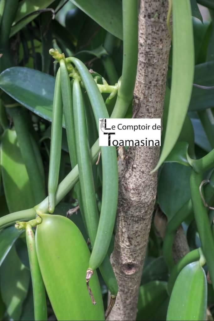 Gousse de Vanille bourbon de Madagascar