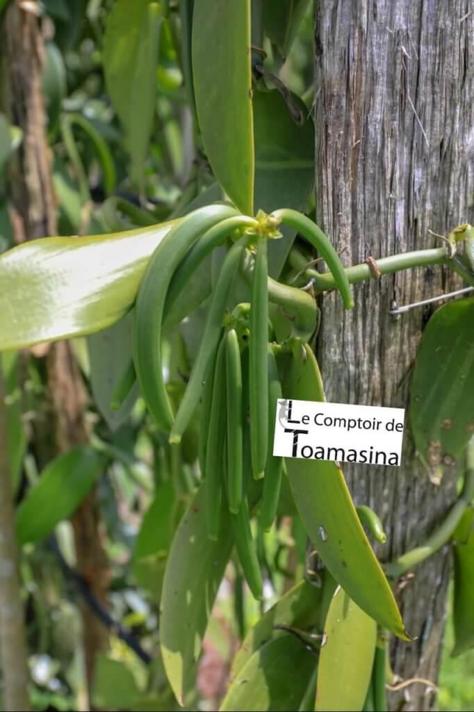 vanille fraîche - gousse de vanille planifolia avant la récolte
