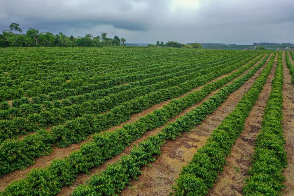 Plantation de poivre au Brésil