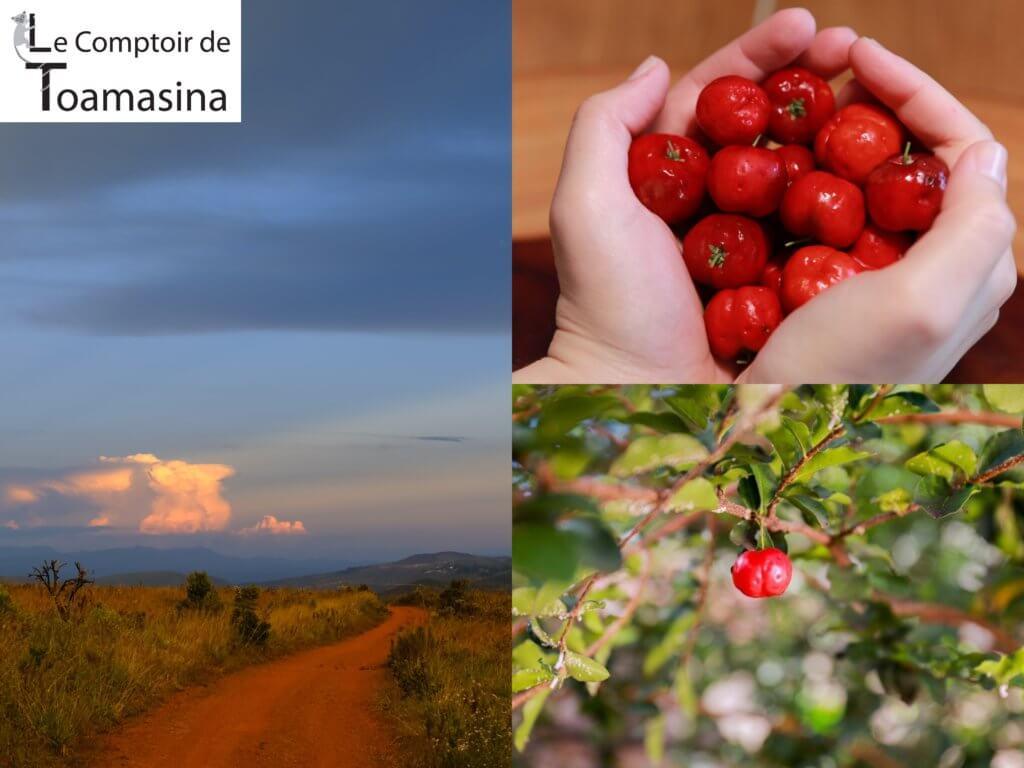 Les variété d'acérola au Brésil