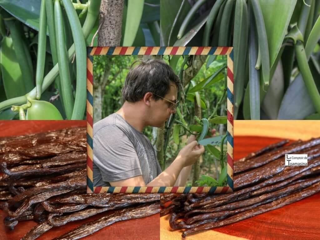 Vanille Sauvage de Madagascar